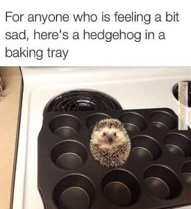 Animal-memes-hedgehog-in-a-baking-tray
